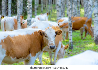 Western Finncattle are a breed of cattle from western Finland. They are a dual purpose breed, used in dairy and beef production. These cattle are usually red and polled (hornless). Photo from Finland.