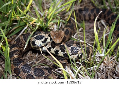 Western Fox Snake (Pantherophis vulpinus)