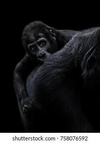 The western gorilla, baby gorilla
