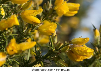 Western Gorse with Water droplets
