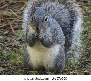Western gray squirrel (Sciurus griseus) is an arboreal rodent who dwells in the forests of the Sierra foothills in California.