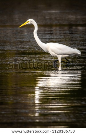 Great Egret On Prowl >> Western Great Egret Prowling Mud Flats Stock Photo Edit Now