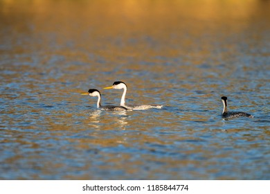 Western grebe (Aechmophorus occidentalis) Lake County, California, USA