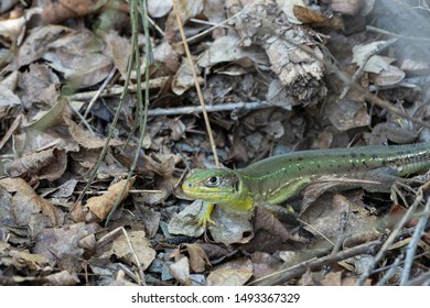 Western Green Lizard (Lacerta bilineata), image was taken on the Moselle river, Germany