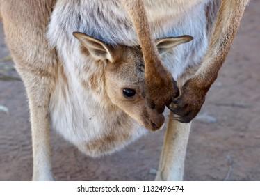 Western Grey Kangaroo Joey in Wilpena Pound, South Australia