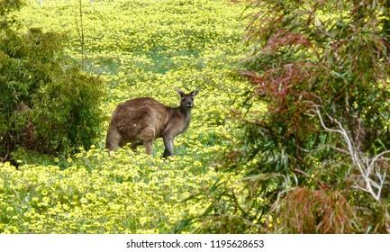 Western Grey Kangaroo Macropus fuliginosus among wildflowers Western Australia