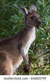 Western Grey Kangaroo (Macropus fuliginosus) feeding. Aldinga, South Australia, Australia.