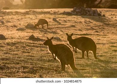 Western grey kangaroos, Macropus fuliginosus, subspecies Kangaroo Island kangaroo, in the grass in sunset light.