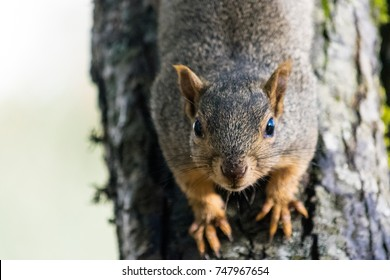 Western grey Squirrel sits on a tree trunk looking at the camera in Eugene Oregon