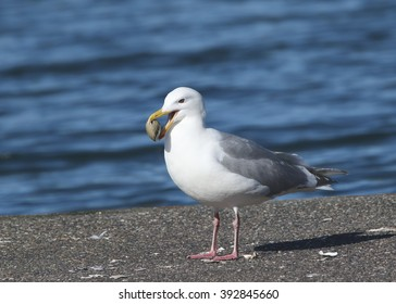 Western Gull with a Cockle Shell