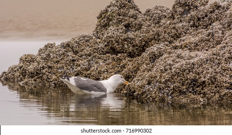 Western gull (Larus occidentalis) feeding on intertidal sea life on a rock while swimming in a beach pool at low tide. Photographed near Quail Street beach access, Seal Rock, Oregon.