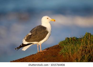 A Western Gull on the California coast