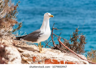 Western Gull in Spain atop a rock sea background
