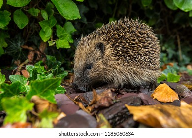 The Western Hedgehog - The only species of European hedgehog found in the British Isles (Erinaceus europaeus). A nocturnal insectivorous mammal, able to roll itself into a ball for defense.