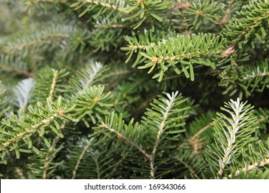 Western hemlock tree branches background