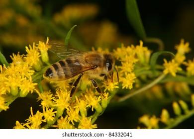 Western honey bee (Apis mellifera) on a blossom