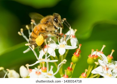 A western Honey Bee is collecting nectar from tiny white flowers. Introduced from Europe where it is known as a European Honey Bee. Taylor Creek Park, Toronto, Ontario, Canada.