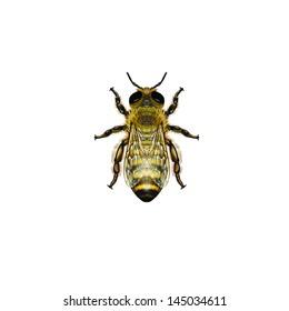 Western Honey Bee or European Honey Bee drone (Apis mellifera) belongs to the Apidae family.