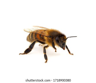 Western honey bee or European honey bee isolated on white background, Apis mellifera