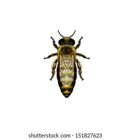 Western Honey Bee or European Honey Bee queen (Apis mellifera) belongs to the Apidae family.
