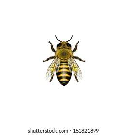 Western Honey Bee or European Honey Bee worker (Apis mellifera) belongs to the Apidae family.