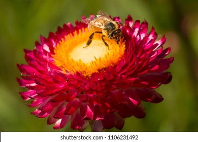 Western honey bee foraging for nectar on a flower of the purple everlasting daisy, Xerochrysum bracteatum, in East Windsor, Connecticut.