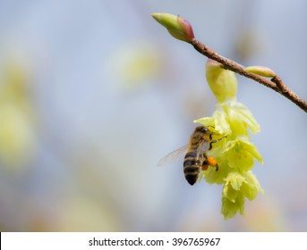 Western honey bee with Varroa mite