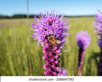 Western honeybee getting nectar from a prairie blazing star on the prairie.