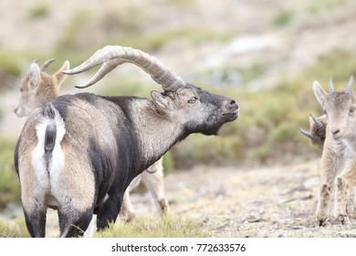 Western iberian wild goat