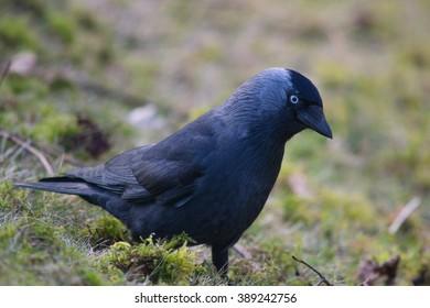The western jackdaw (Corvus monedula)