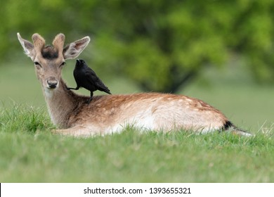 Western jackdaw (Corvus monedula) sitting on fallow deer (Dama dama), London, United Kingdom