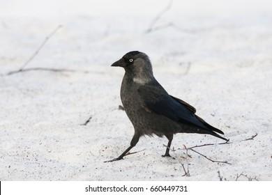 Western jackdaw walking on snow. Clever crow grey-black bird. Bird in wildlife.