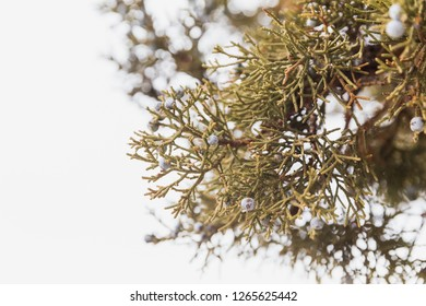 Western juniper tree branches with juniper berries on an overcast day.