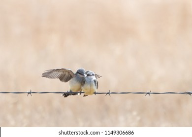 A Western Kingbird fledgling lands on  a barbed wire fence with wing spread out next to another fledgling.  Isolated against a blurred background.