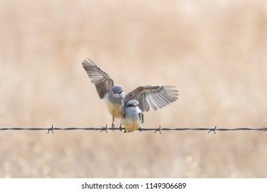 A Western Kingbird fledgling lands on  a barbed wire fence with wings fanned out next to another fledgling.  Isolated against a blurred background.