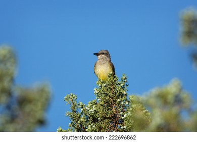 A Western Kingbird Flycatcher (Tyrannus verticalis) perches in the top of a Juniper tree in southern Utah.