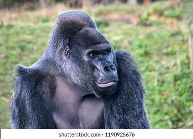 Western Lowland Gorilla, Bristol Zoo, UK