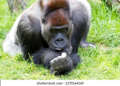 Western Lowland Gorilla (Gorilla gorilla gorilla), Cincinnati, Ohio, USA.