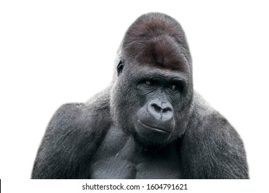 Western lowland gorilla close-up of male silverback against white background