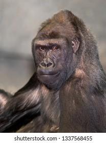 Western lowland gorilla closeup portrait