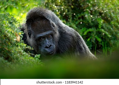 Western lowland gorilla, detail head portrait with beautiful eyes. Close-up photo of wild big black monkey in the forest, Gabon, Africa. Wildlife scene from nature. Mammal in the green vegetation.