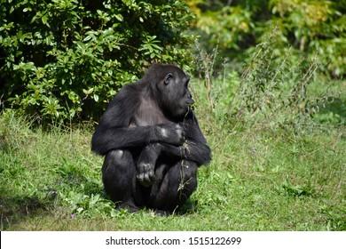 Western lowland gorilla (Gorilla gorilla gorilla) eats grass