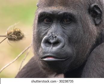 western lowland gorilla female