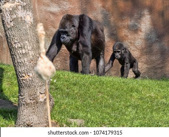 Western Lowland Gorilla, Gorilla g. gorila, teaches the young to collect food
