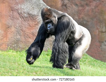 Western lowland gorilla (Gorilla gorilla gorilla) having a snack