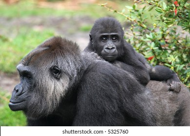 Western lowland gorilla with infant