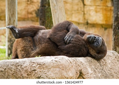 Western Lowland Gorilla Laying Down and  Looking Relaxed at the Gladys Porter Zoo, Brownsville, Texas