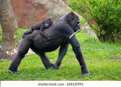 The western lowland gorilla is one of two subspecies of the western gorilla. Gorilla Richard in Prague´s zoo