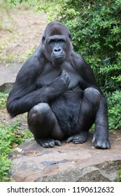 western lowland gorilla, peaceful sitting and waiting on a stone