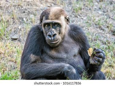Western lowland gorilla - Gorilla gorilla gorilla - is posing. Animal scene.